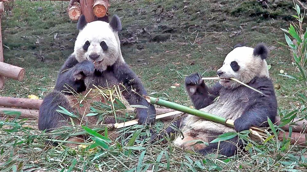 熊貓吃大餐